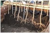 Растения с открытой корневой системой или с голым корнем
