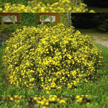 Лапчатка кустарниковая Голдстар - Potentilla fruticosa Goldstar